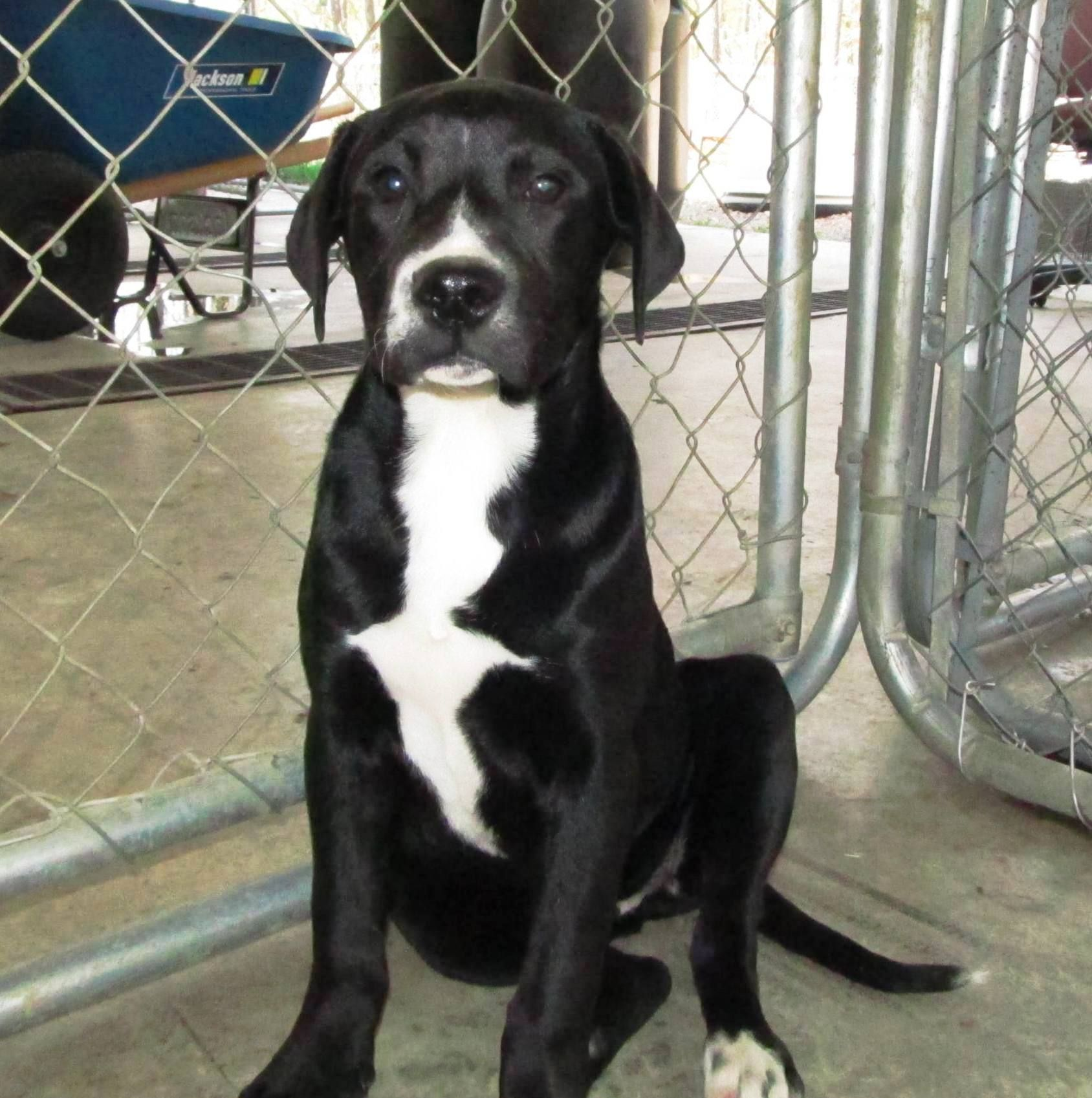 LAB MIX 6 MONTH OLD!!!, Female, Stray, Lee County Animal