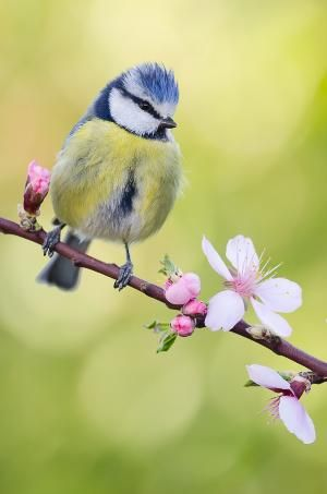 Blue tit by Roger Pujol ✿⊱╮ by VoyageVisuel