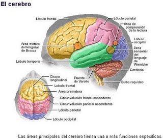 Biologia Fotos Dibujos Imagenes Dibujos Del Cerebro Humano