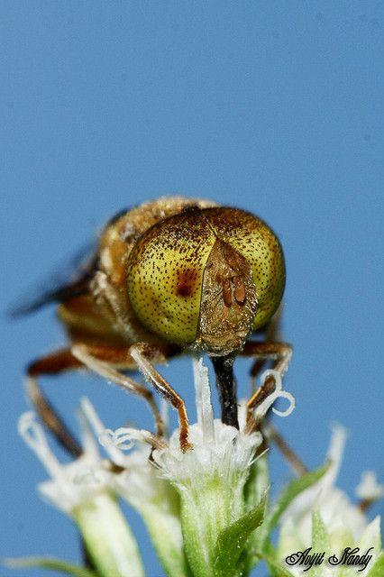 eye of fly
