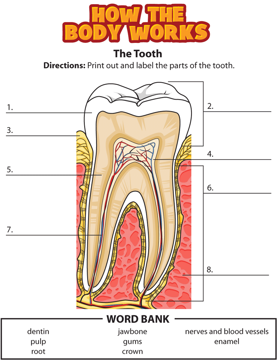 small resolution of label the parts of a tooth