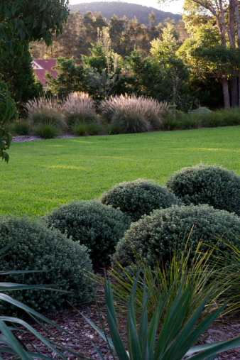 Westringia Grey Box mounds and Miscanthus `Hiawatha' in ...