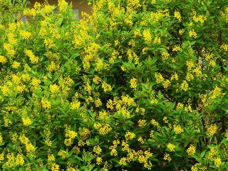 Great Florida Perennial Easy Drought Tolerant Loves Full Sun Beautiful
