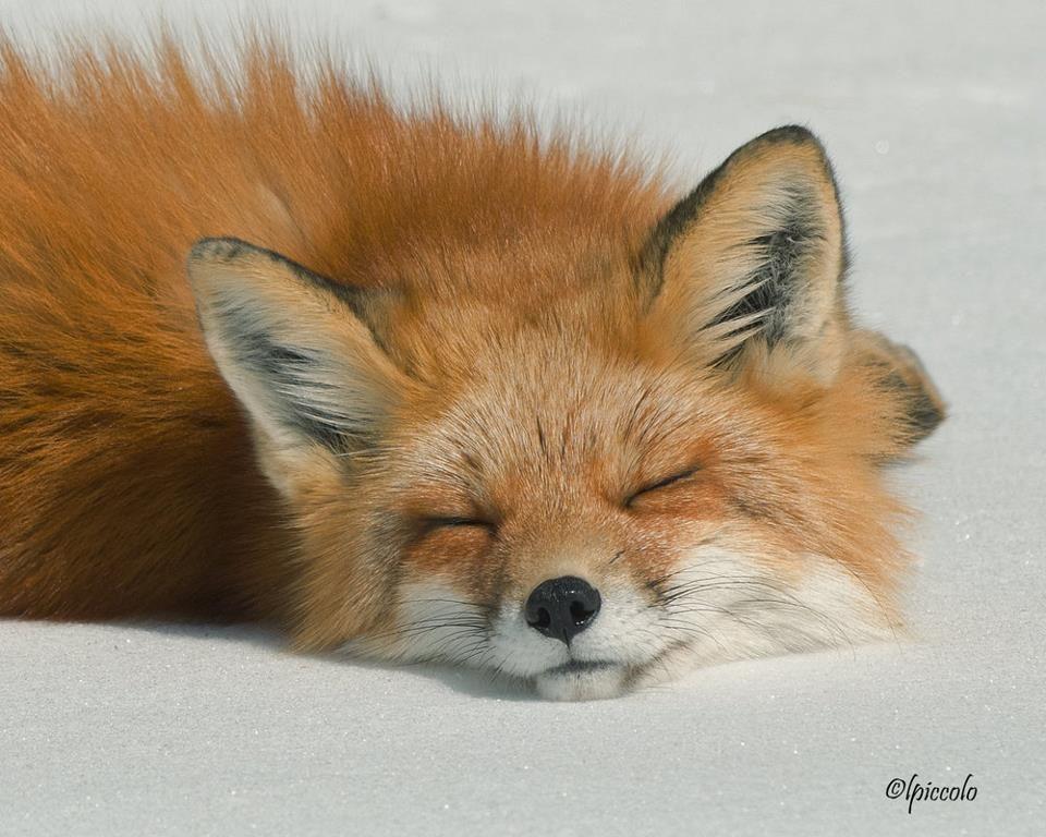 Sleeping fox, because it is cute.