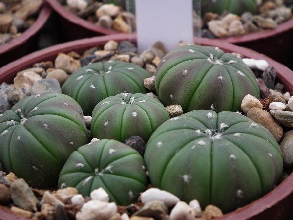 astrophytum (2)