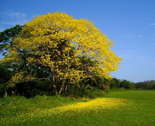 El Guayacan O Palo Santo Propiedades Y Beneficios Especies De Arboles Arboles Guayacan