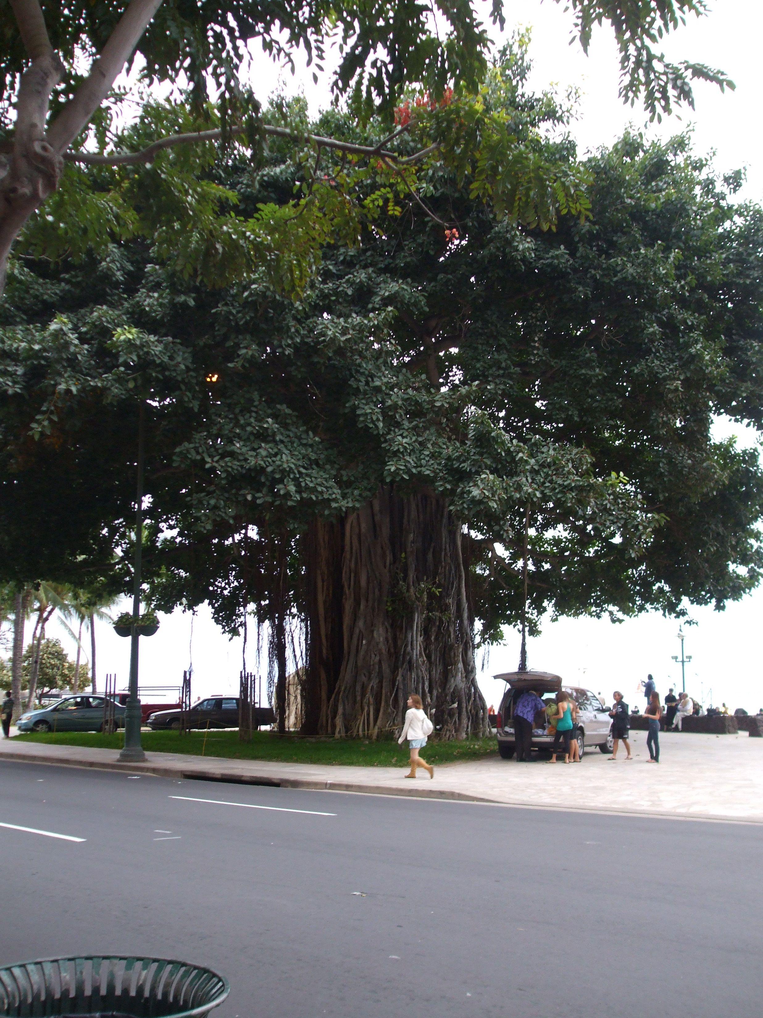 Banyan Tree In Waikiki We Used To