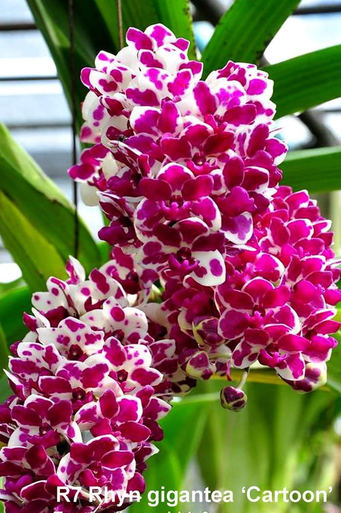 Rare orchid,No7 rhynchostylis gigantea cartoon,blooming