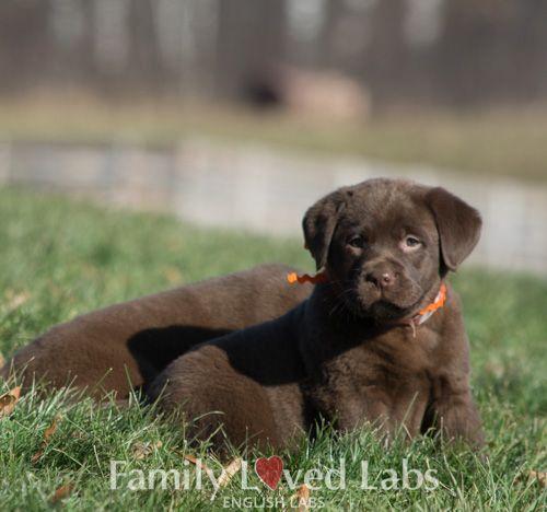 Dark Chocolate English Labrador Pup Akc Registered English Lab