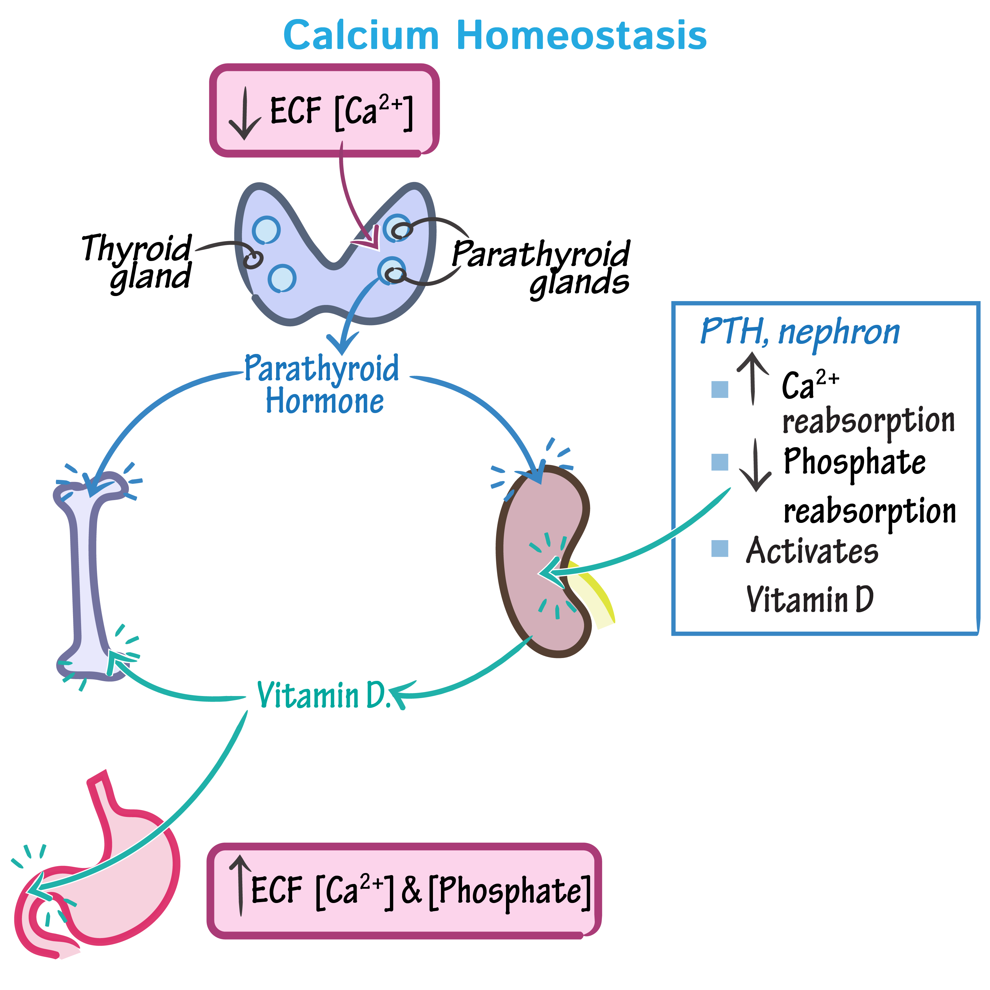 Renal Control of Calcium, Phosphate, and Magnesium