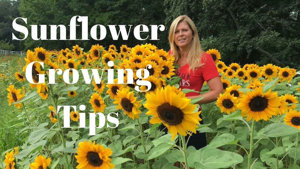 Sunflower Growing Tips Youtube Mammoth Sunflower Giant Sunflower Sunflower Flower