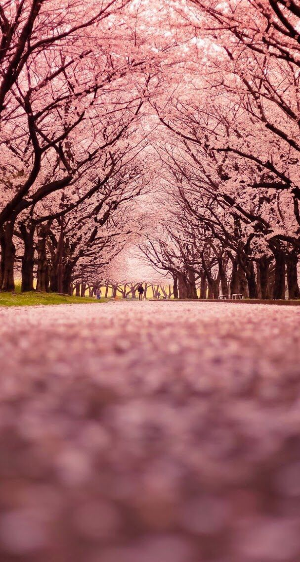 Landscape Of Central Park In Japan Cherry Blossoms Tree Wallpaper Nature Photography Beautiful Wallpapers