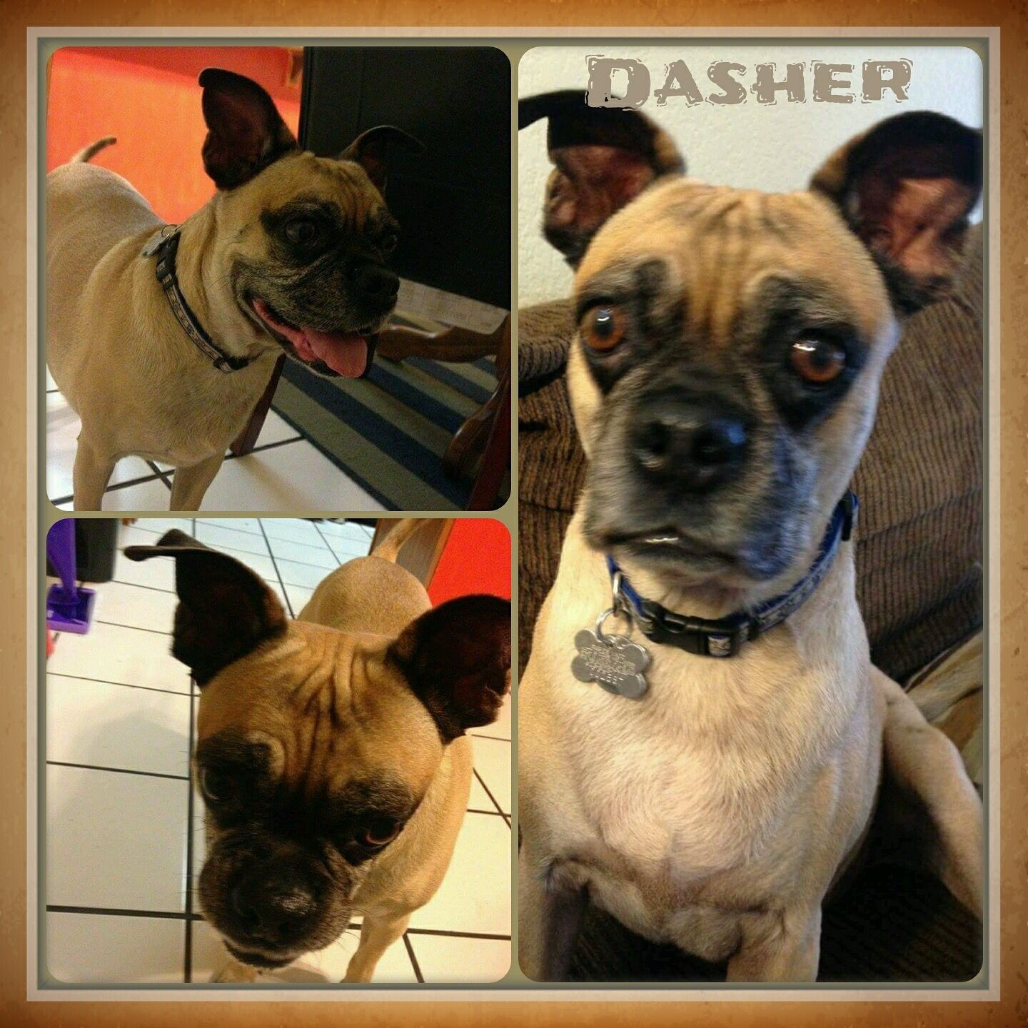 Dasher Arizona Puggle Rescue My Fosters As Well As Dogs Up For