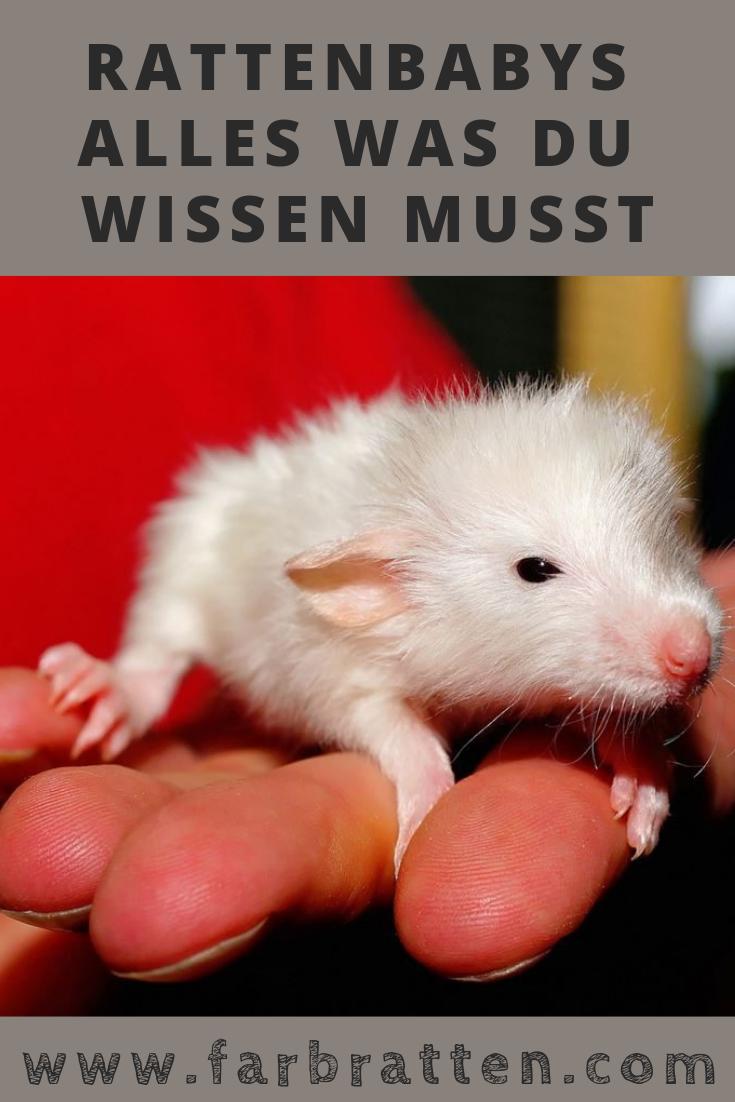 Farbratten Baby Farbrattenwelpen Und Wie Du Mit Ihnen Umgehst Teil 4 Wachstum Der Welpen Und Der Richtige Umgang Ra Farbratten Haustiere Ratte Haustier