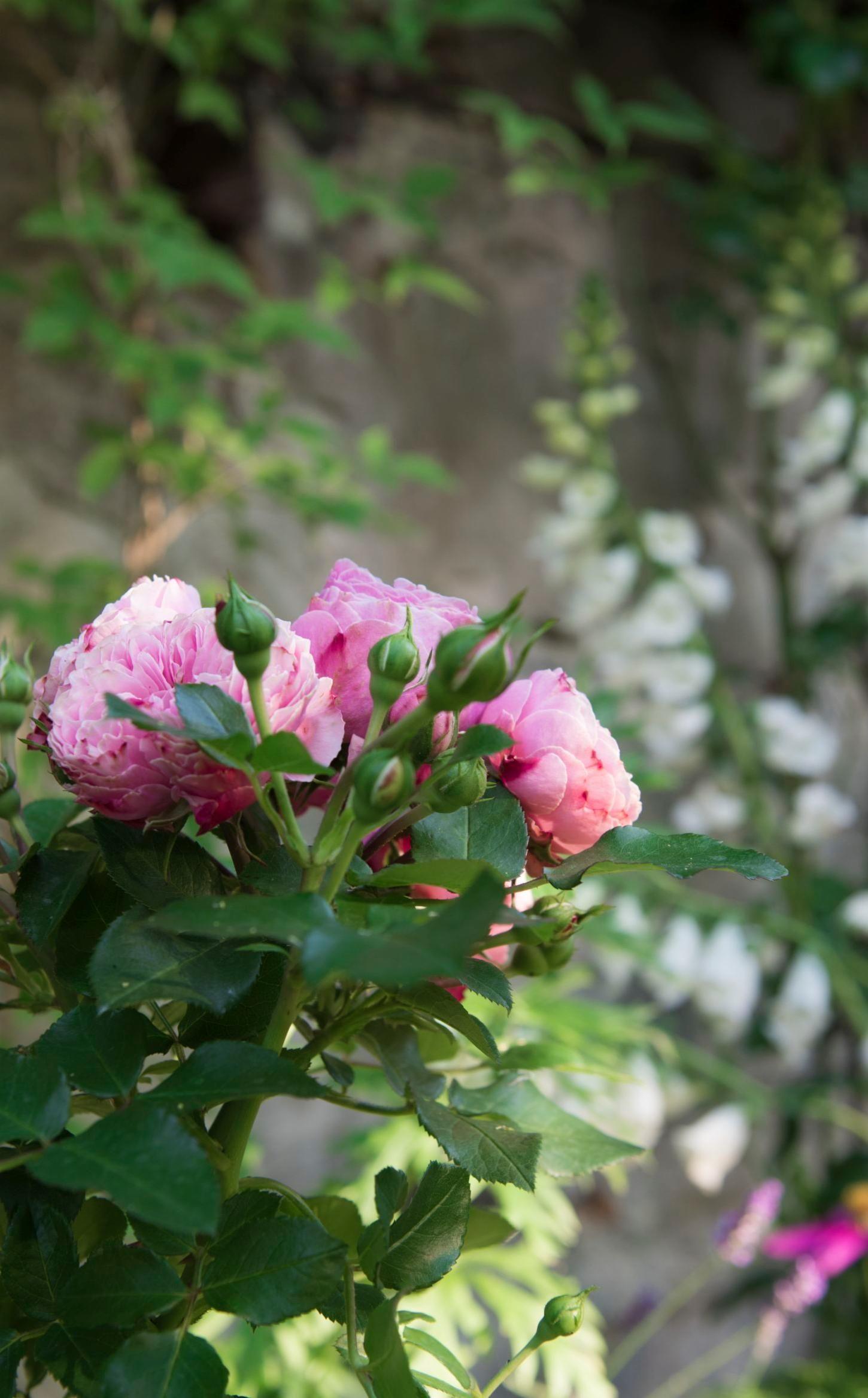 Faire Un Rosier Avec Une Rose le rosier, c'est la star des jardins ! avec gardena