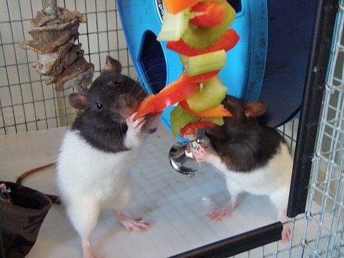 Size Of Toys Wheel Litter Box For Average Full Grown Female Rat Litter Box Litter Rats