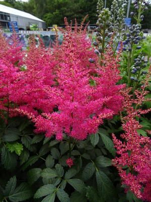 Astilbe Drum Bass Spirea Feather Flower Zones 5 9 Description A Member Of The New Music Series Drum Bass Shade Perennials Shade Garden Astilbe