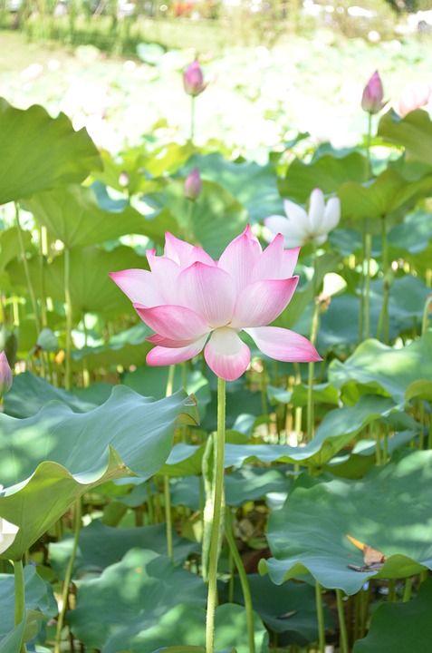 Image Gratuite Sur Pixabay Lotus Fleur Neerlandais Pinterest