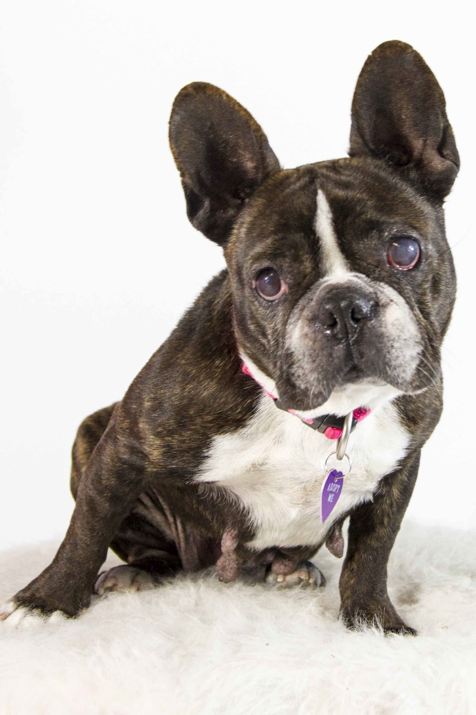 French Bulldog dog for Adoption in St. Louis Park, MN. ADN