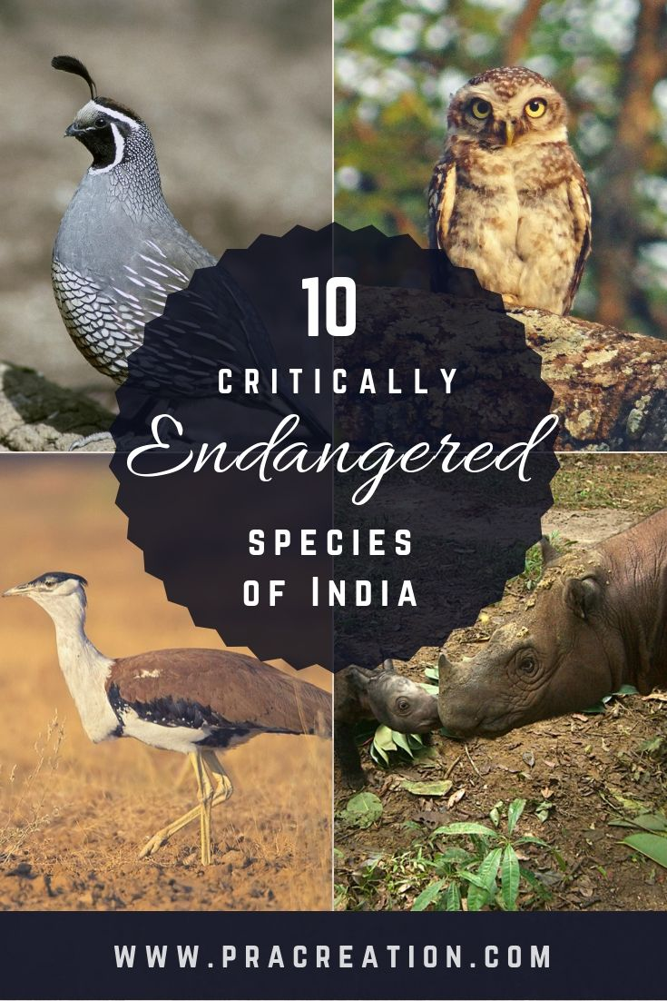 10 Critically Endangered Species of India Endangered