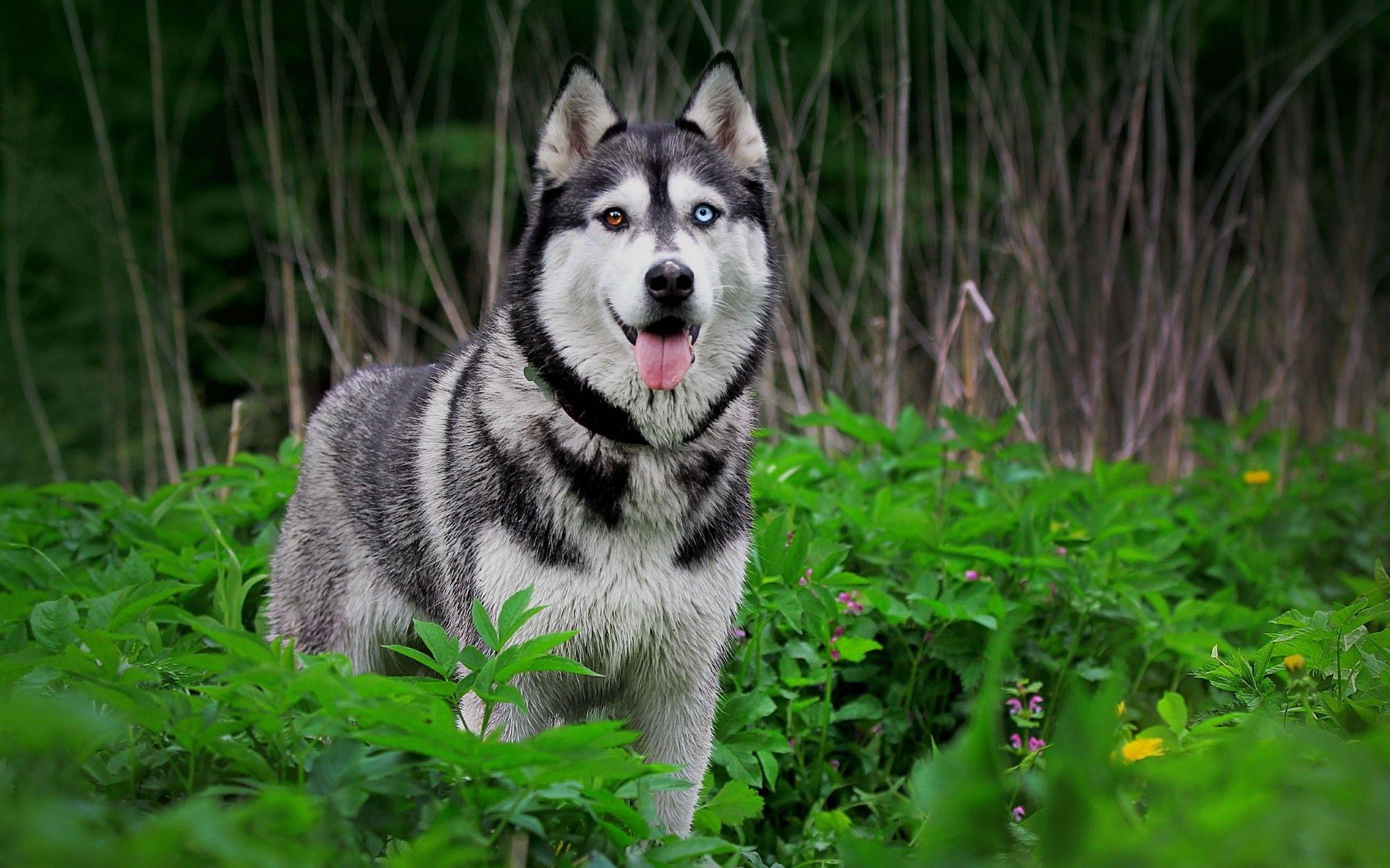 Siberian Husky Huskies Lover Beautiful dog breeds