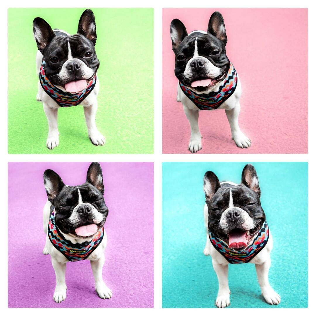 My four farting faces faces.  __  This is my entry for the #letsplayphotobooth contest hosted by @freyaeverafter_ @homerpugalicious @houndandlife  __  #LOVEABULLY #frenchies1 #hankandhound  #photooftheday #sunnypicchallenge  #bestwoof #houndsbazaar_ff #thefrenchiepost #dailybarker #animalbuzz #dogsofinstagram #lacyandpaws #rainbow_wall  #excellent_dogs #meowvswoof #french_bulldogs #mydogiscutest #cute #INSTAFRENCHIE #frenchielove_feature #topdogphoto #frenchbulldog #frenchiesofcdmx…
