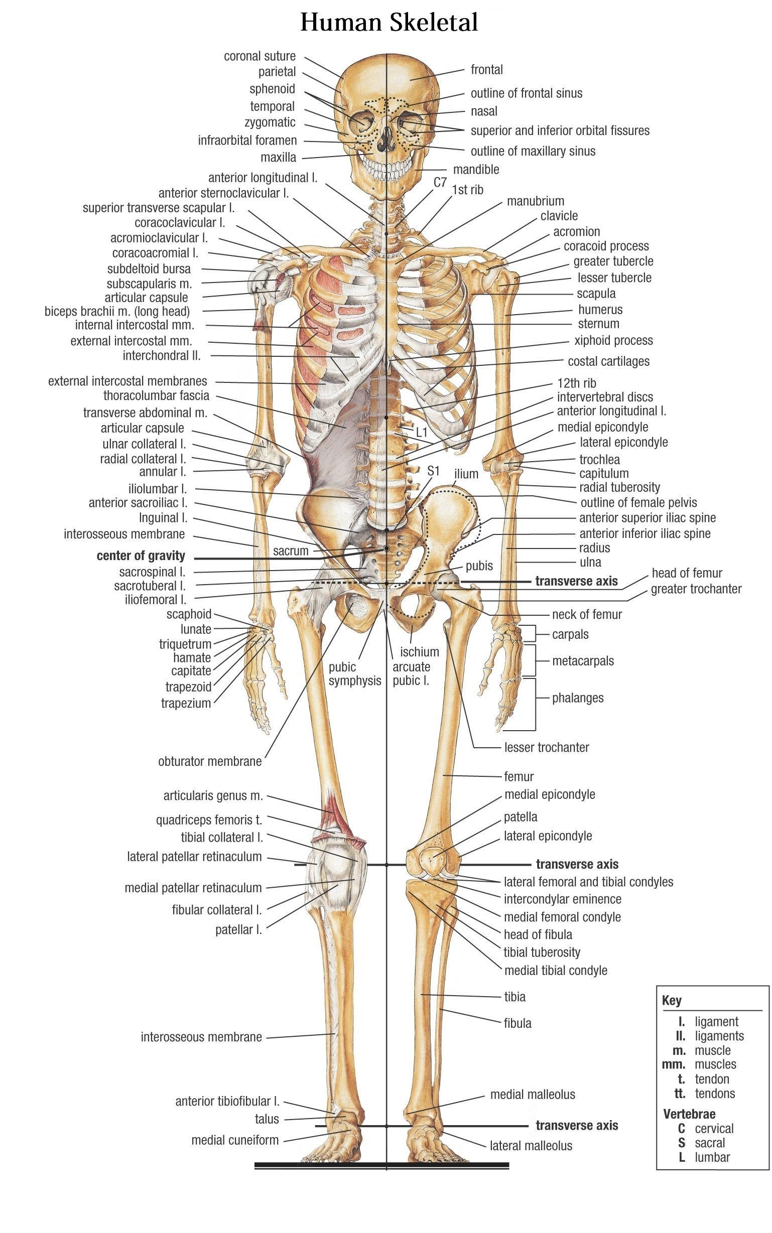 Anatomy Of Bones In Skeleton Bones In The Human Body