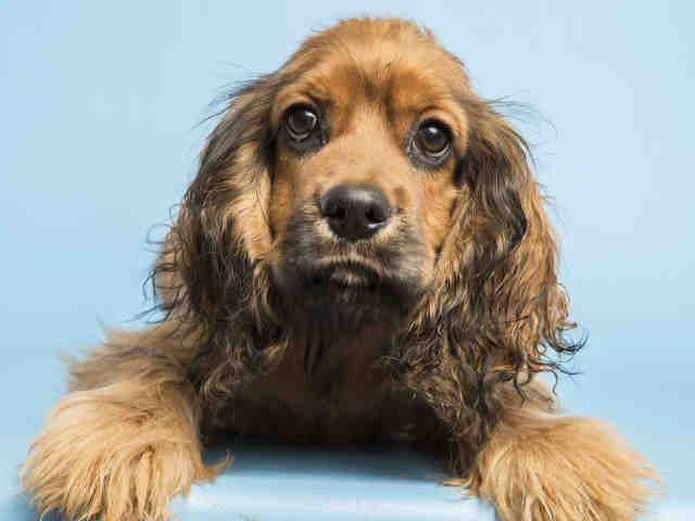 Meet Henry An Adorable 7 Month Old Cocker Spaniel Puppy Looking For A Home To Call His Own Meet Henry Http Www Az Cocker Spaniel Puppies Pets Dog Adoption