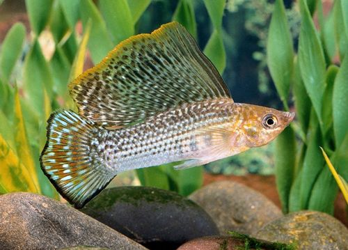 Image gallery sailfin molly for Molly fish for sale