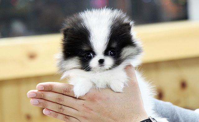 Teacup Pomeranian Separating Fact From Fiction Toy Pomeranian