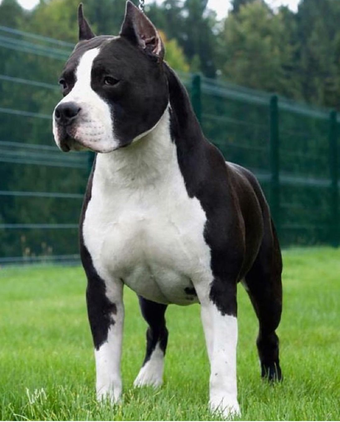 Pin By Lesa Bolman On Black And White Pure Breed Dogs American
