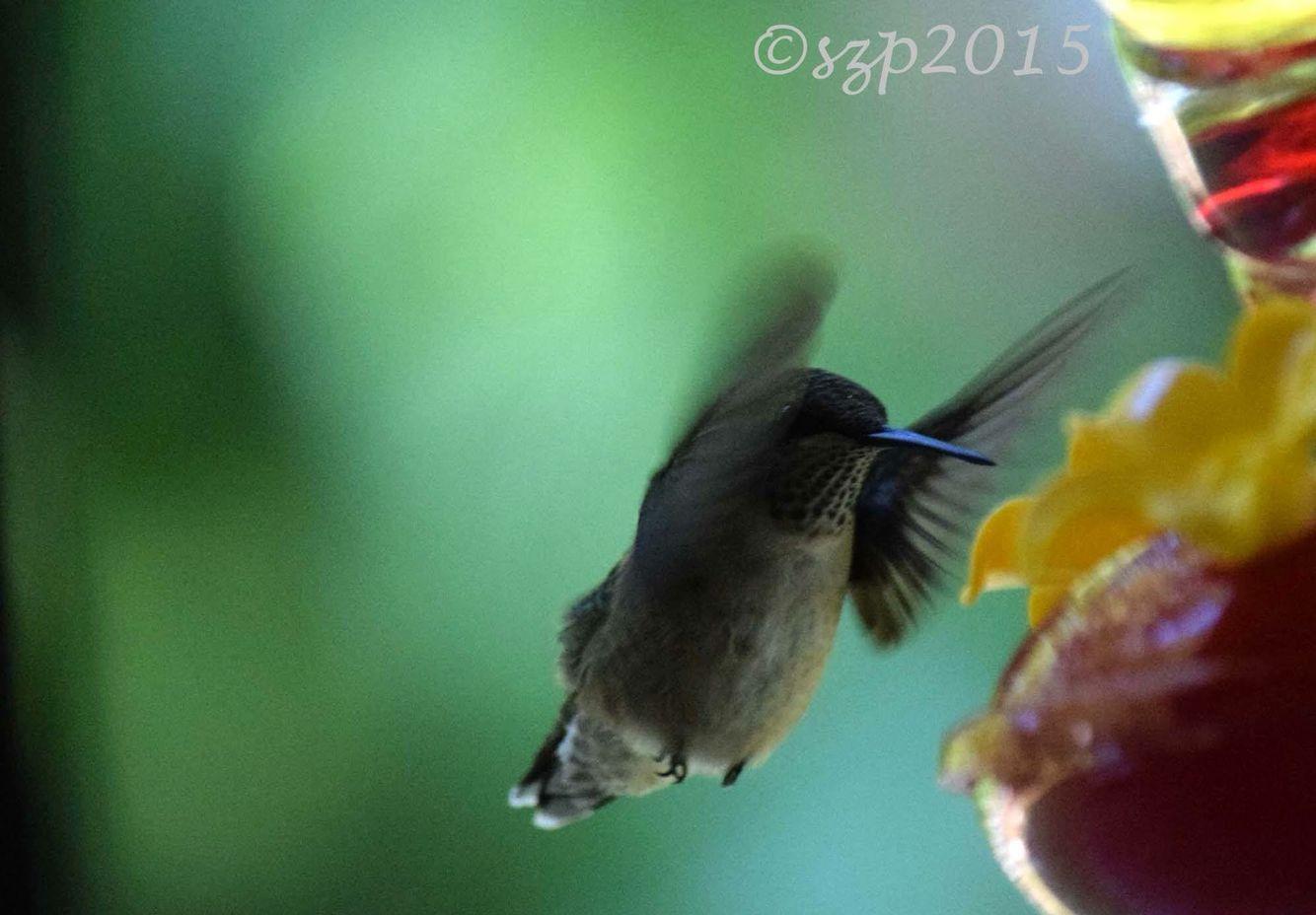 Hummingbird anonymous (With images) Hummingbird, All birds