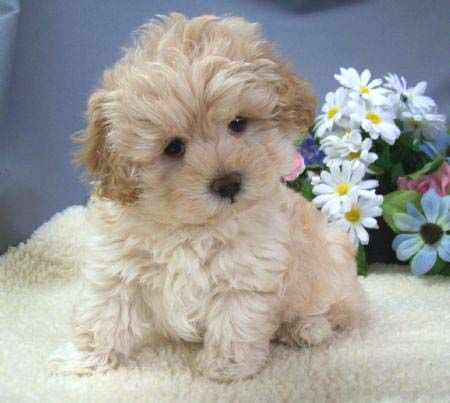 Maltipoo Puppies Maltese Maltipoo Puppy Puppies Cute Dog