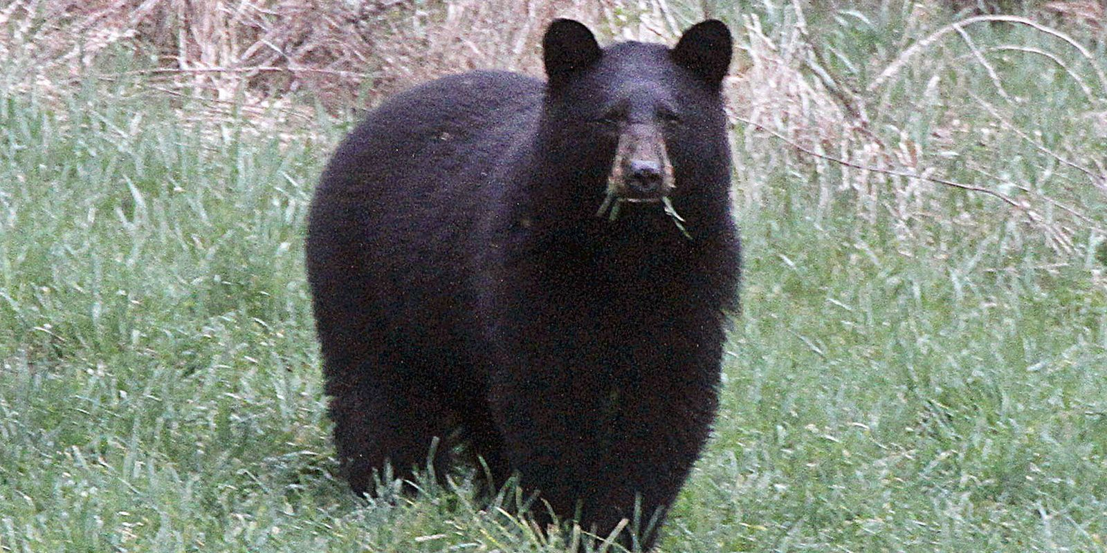 Black Bear Boom Bedevils Beekeepers In Michigan Black Bear Bear Attack Bear