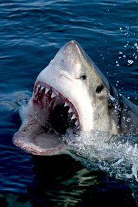 South Africa Great White Shark Diving Expedition. Diving with great white sharks, makos, blue sharks, cat sharks, sevengill sharks, tiger sharks and blacktip  sharks. Air Jaws!