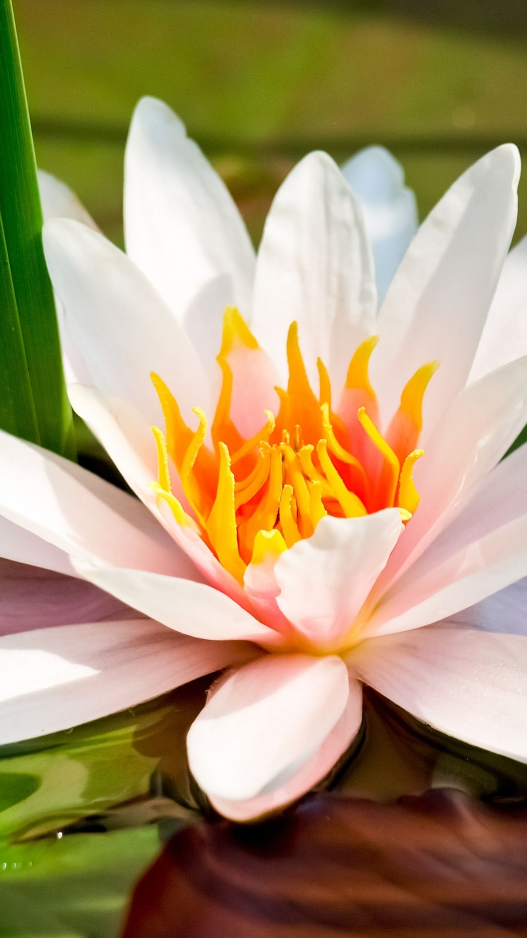 Iphone flowers (With images) White lotus flower, Lily