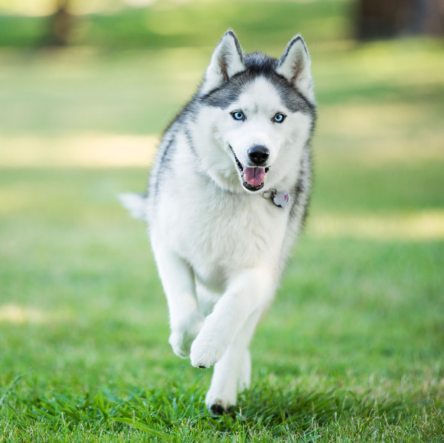 13 Wolf Like Dog Breeds That Make Surprisingly Gentle Pets Dog