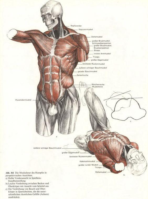 6928274265_b7302989f9_b.jpg (631×849) #MuscleAnatomy | Art - Anatomy ...