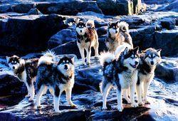 Suomen Valjakkourheilijoiden Liitto Ry Valjakkourheilussa K Ytettyj Koirarotuja Canadian Eskimo Dog Dog Breed Info Dog Breeds