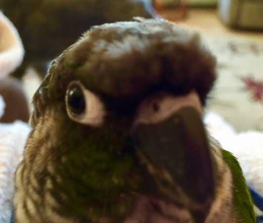 Green Cheeked Conure Notice Conure, Pet bird, Green
