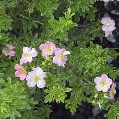 Shrubby Cinquefoil Potentilla Fruticosa Pink Beauty Deciduous Shrub Blooms From Late
