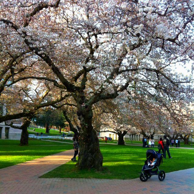 Cherry Blossoms In Uw Cherry Blossom Sidewalk Blossom
