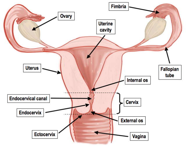 Female Reproductive System Anatomy And Physiology Female