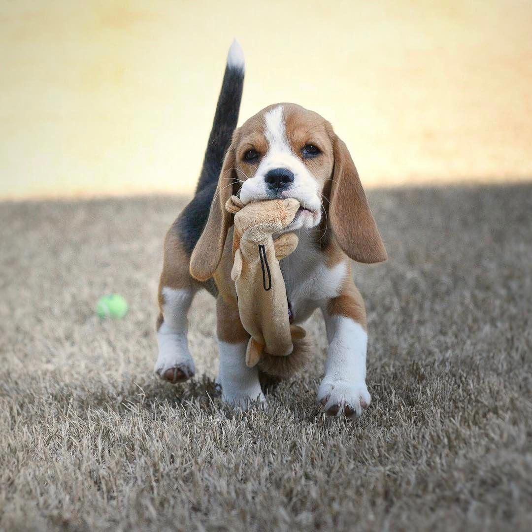 Check Out Our Internet Site For More Info On Beagles It Is An