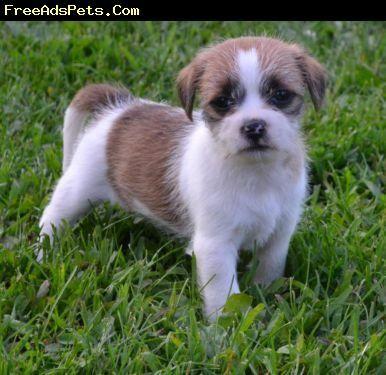 Rat Terrier Shih Tzu Mix Yorkie Mix Rat Terriers Yorkie