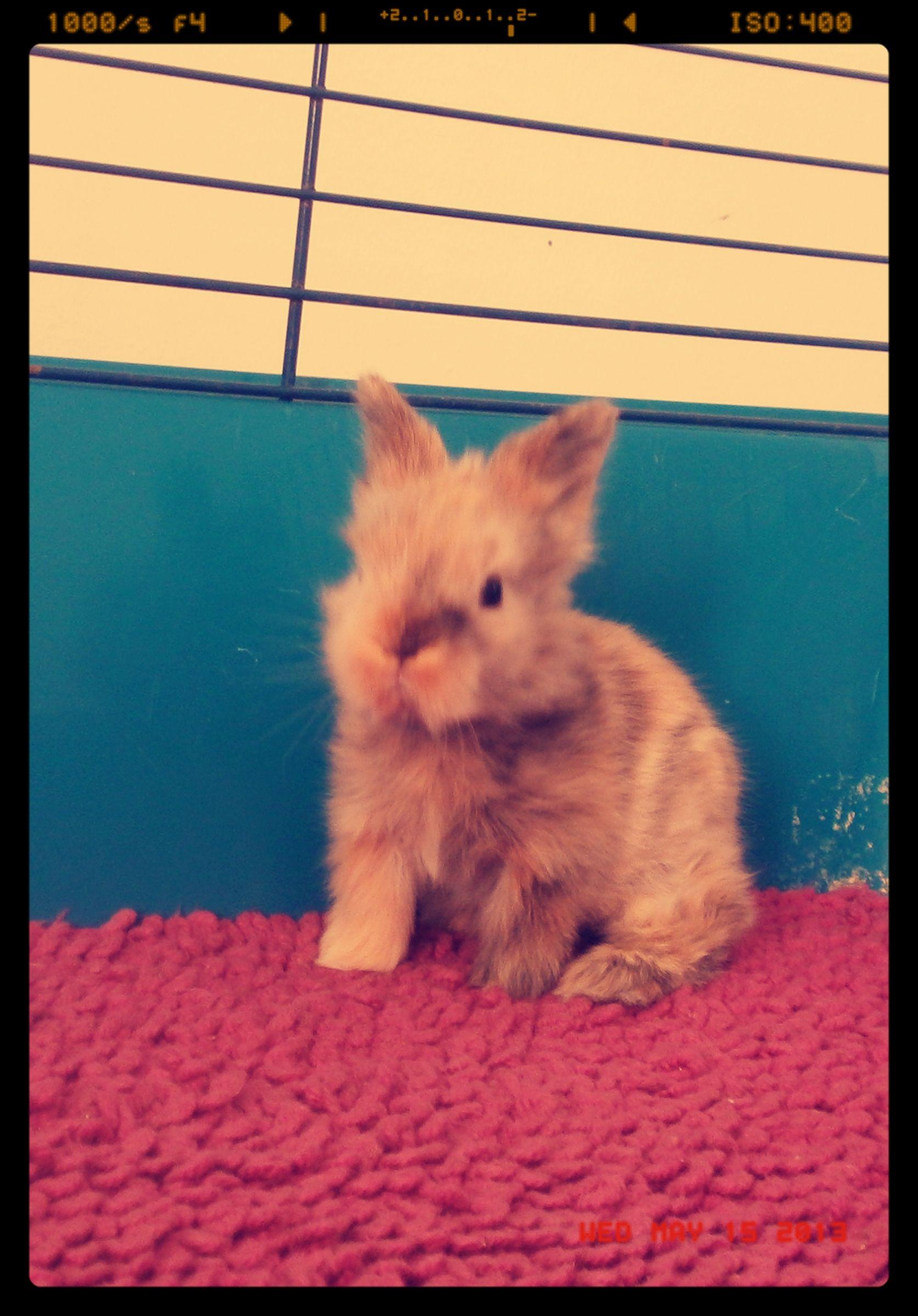 Baby lionhead rabbit lionhead rabbit animals