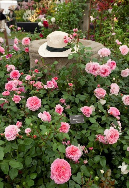 Pink Climbing Rose With Medium Scent By