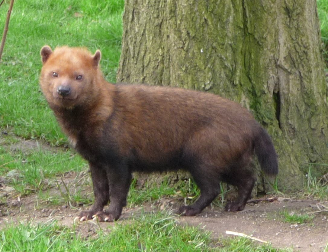 The Bush Dog is a canid found in Central and South America ...