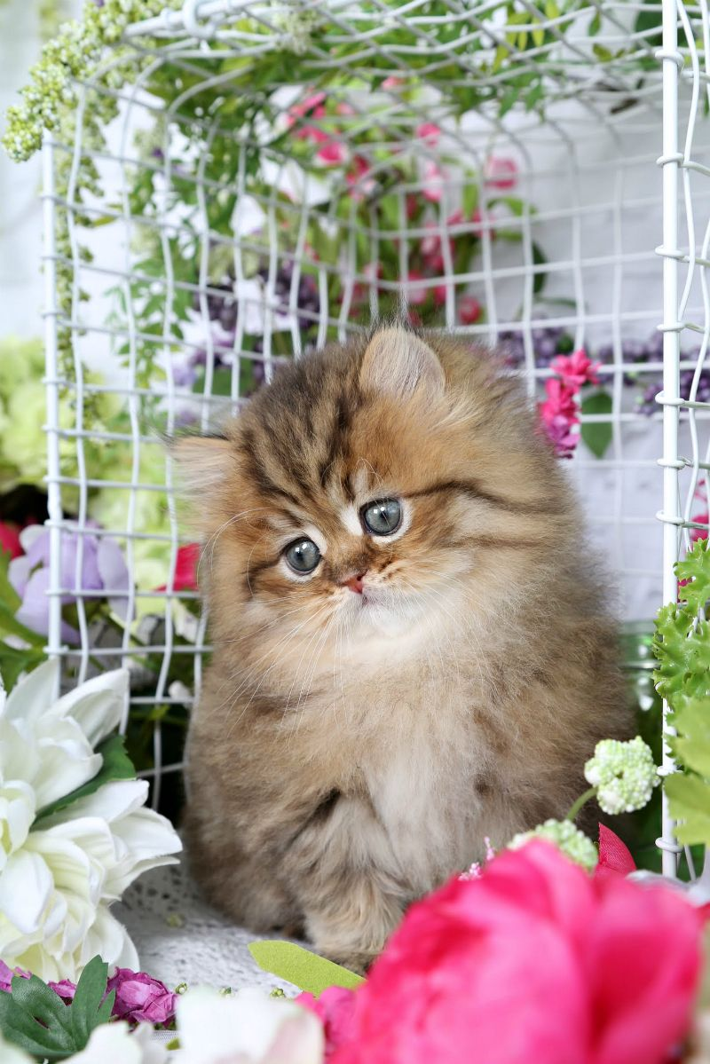 Bronzie Golden Chinchilla Doll Face Persian Kitten For Sale
