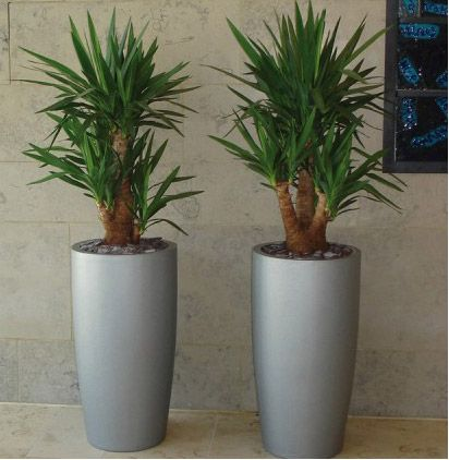 yucca plant | Yucca Plants and Trees | Large Office Plants ...